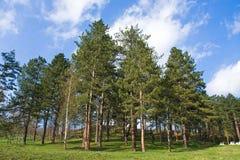 Pine tree woodland. On the sunny day under blue sky Stock Photos