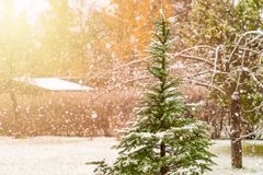 Pine tree in yard, heavy snow. Pine tree in a yard, heavy snow and sunlight royalty free stock photography