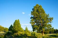 Pine Tree in Yellowstone Park Stock Image