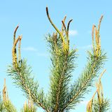 Pine tree young branches Stock Photos