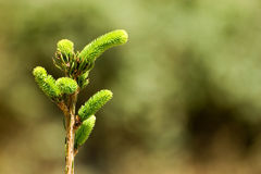 Pine tree1. Close up of a pine tree Royalty Free Stock Image