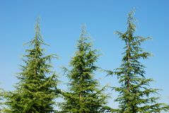 Pine trees. Three pine trees on blue sky background Stock Photography