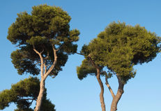 Pine trees Royalty Free Stock Image