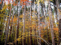 Pine trees. Colourful  Autumn Stock Images