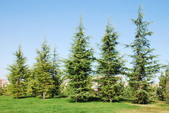 Pine Trees. Row of the pine trees on the blue sky Stock Photography