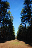 Pine trees. The sun rays making the way royalty free stock photo