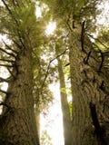Pine Trees. Sun shining through two pine trees Royalty Free Stock Photos