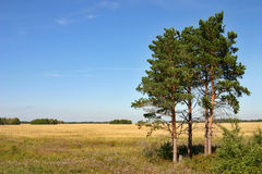 Pine-trees. In the middle of the wheat field on a background clear sky royalty free stock images