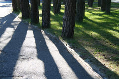 Pine trees. And their shadows Royalty Free Stock Image