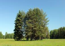 Free Pine Trees Royalty Free Stock Photos - 19927758