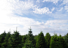 Pine Trees Stock Photos