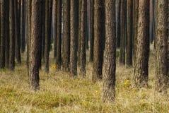 Pine trees stock photography