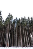 Pine trees Stock Images