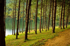 Pine trees. With the reservior in the noth of Thailand stock photo