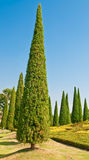 Pine trees. Royalty Free Stock Photos