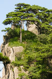 Pine trees at Huangshan mout royalty free stock images