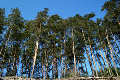 Pine Trees. View of forrest of green pine trees on mountainside Stock Photos