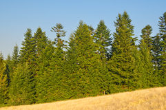 Pine-trees. On a mountain slope stock photo