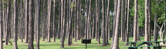Pine Trees. The straight trunks of many pine trees in Taylor Lake Park, Florida, form an interesting sight in this panoramic shot Stock Images