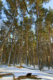Pine trees. Pine trees in snowy day Stock Images