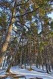 Pine trees. Pine trees in snowy day Royalty Free Stock Photo