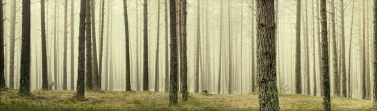 Pine trees. In a forest with fog Royalty Free Stock Photography