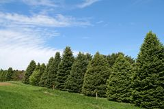 Pine Trees. Row of Pine Trees in the Countryside Stock Photo