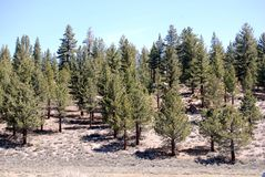 Pine trees. Peace full land scape in Mammoth Mountain, Ca, consisting of pine trees Royalty Free Stock Images