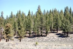 Pine trees. Peace full land scape in Mammoth Mountain, Ca, consisting of pine trees Stock Photo