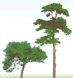 Pine trees Royalty Free Stock Photo