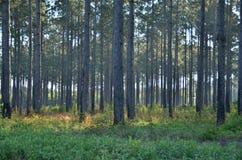 Free Pine Trees Royalty Free Stock Photo - 80926735