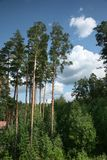 Pine trees. In a forest royalty free stock images