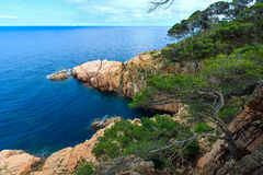 Pine trees above sea. Royalty Free Stock Photo