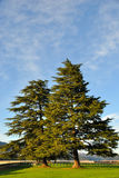 Pine Trees above Shasta Lake Dam Stock Photo