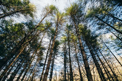 Pine Trees in the Afternoon Stock Photography