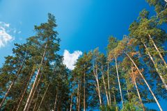 Pine trees against the blue sky with clouds. Daylight. Pine trees against the blue sky with clouds, daylight. Earth day and nature theme stock image