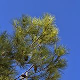 Pine trees. Against clear blue sky Stock Photo