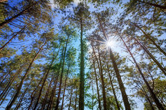 Pine trees against clear blue sky with sun radius. Stock Photo