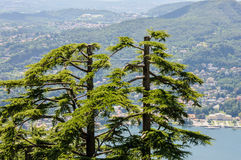Pine trees against Como Lake, Italy Stock Images
