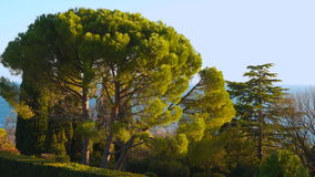 Pine trees against the sea and sky. lit by the sun at sunset stock footage