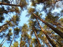 Pine trees against the sky Royalty Free Stock Image