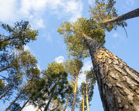 Pine trees against the sky Stock Photography