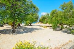 Pine trees in Alghero lido Royalty Free Stock Image