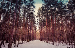 Pine trees. The alley of pine trees royalty free stock images