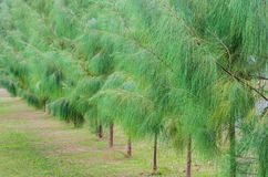 Pine trees alley Stock Image