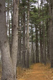 Pine trees along a hiking trail in New England. Stock Image