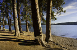 Pine trees along the shore. Royalty Free Stock Photos