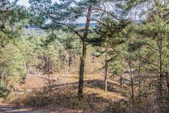 Pine trees in an arid terrain on a wonderful sunny day in Brunssummerheide. Day to enjoy the nature in the forest in south Limburg in the Netherlands Holland royalty free stock image