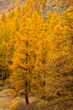 Pine trees in autumn colours Stock Photos