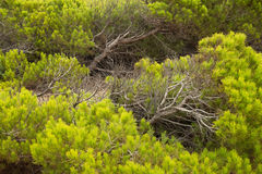 Pine trees background. Full frame take of windswept Mediterranean pine trees Royalty Free Stock Photo